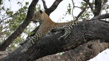 Leopard in tree — Stock Video