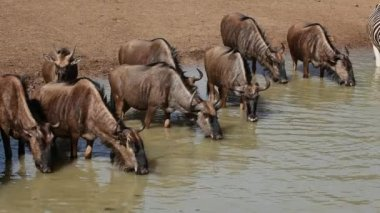 Wildebeest at the waterhole — Stock Video