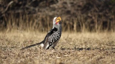 Yellow-billed hornbill — Stock Video