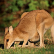 Agile Wallaby — Stock Photo #52334109