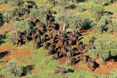 African buffalo herd — Stock Photo