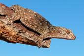 Bibron gecko — Stock Photo