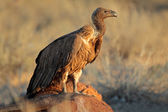 Scavenging white-backed vulture — Stock Photo