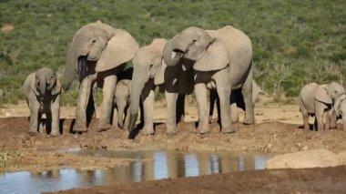 African elephants drinking water — Stock Video