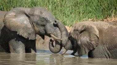 African elephants in waterhole — Stock Video