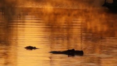 Hippopotamus in water — Stock Video