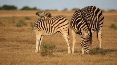 Plains zebra with foal in natural habitat — Stock Video