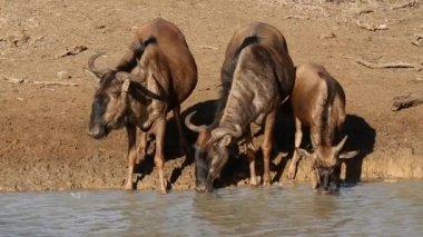 Wildebeest drinking water, Mkuze game reserve — Stock Video