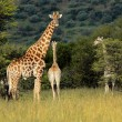 Giraffes in natural habitat — Stock Photo #52800731