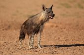 Brown hyena — Stock Photo