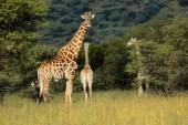 Giraffes in natural habitat — Stock Photo