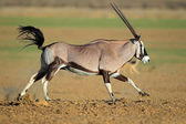 Running gemsbok antelope — Stock Photo