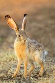 Scrub hare — Stock Photo