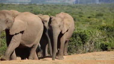 African elephant herd — Stock Video