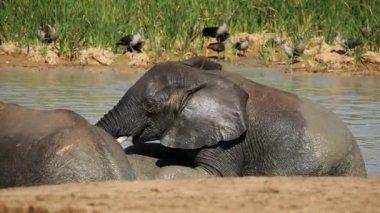 African elephants in water — Stock Video