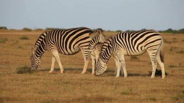 Plains Zebras grazing — Stock Video