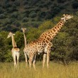 Giraffes in natural habitat — Stock Photo #53280061