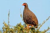 Red-necked spurfowl — Stock Photo