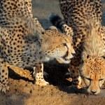 Cheetahs drinking water — Stock Photo