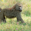 Olive baboon — Stock Photo #53705075