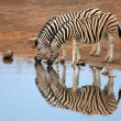 Plains Zebras drinking water — Stock Photo #53705085