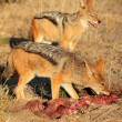 Scavenging black-backed Jackals — Stock Photo #53705091