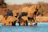 Elephants drinking water — Stock Photo
