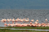 Flamingos on Lake Nakuru — Stock Photo