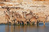 Koedoe antilopen drinken — Stockfoto