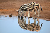 Plains Zebras drinking water — Stock Photo