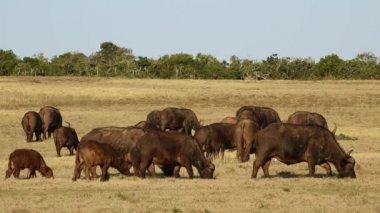 African buffalo herd — Stock Video
