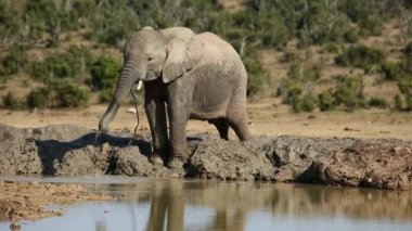 African elephant at waterhole — Stock Video