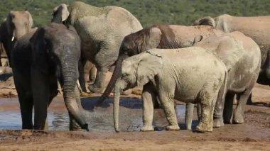 African elephants at waterhole — Stock Video