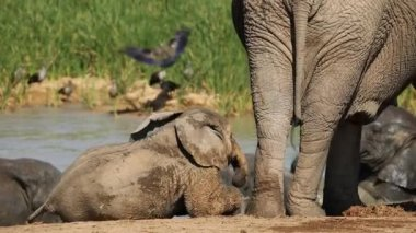 Playful baby African elephant — Stock Video