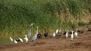 Waterbirds at pond — Stock Video