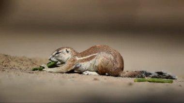 Feeding ground squirrel — Stock Video