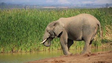 Elephant drinking water — Stock Video