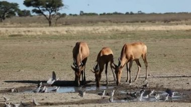 Red hartebeest and doves — Stock Video