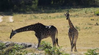 Giraffes at waterhole — Stock Video