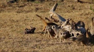 Playful meerkats — Stock Video