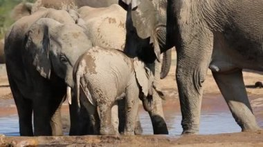 Baby elephant drinking water — Stock Video