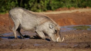 Warthog drinking water — Stock Video