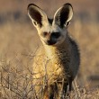 Bat-eared fox — Stock Photo #54218783
