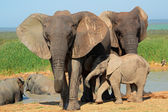 African elephant with calf — Stock Photo