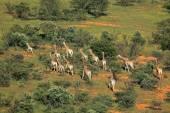 Giraffe herd — Stock Photo