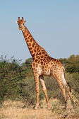 Giraffe bull — Stock Photo