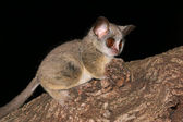 Lesser Bushbaby — Stock Photo