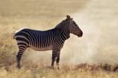 Mountain Zebra in dust — Stock Photo