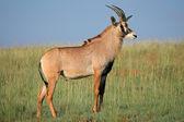 Roan antelope — Stock Photo