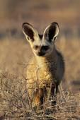 Bat-eared fox — Zdjęcie stockowe
